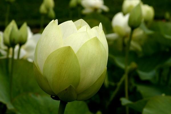 lotusblanc.jpg